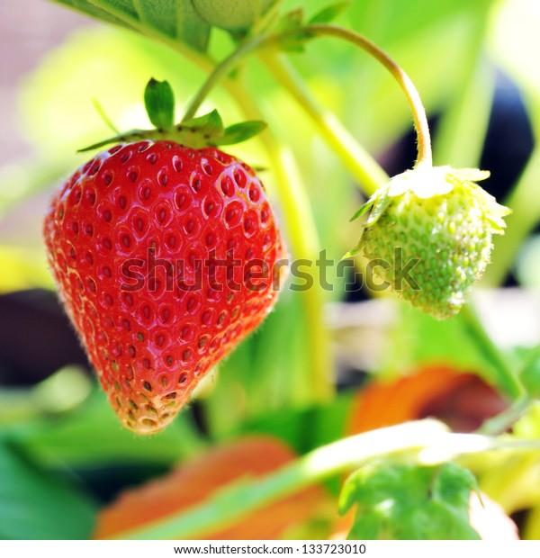 red strawberry in  village garden