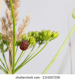 A red striped black bug sits on the umbels of a parsnip