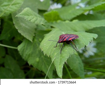 red striped bug on a green leaf of a tree in macro photography