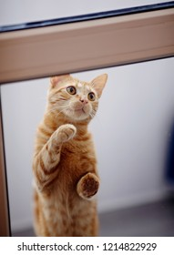 The red striped domestic cat asks to open a door.
