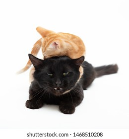Red striped kitten funny plays and fights with an adult black cat, isolated on white background. Two funny cats. Domestic animals. Cute pets.