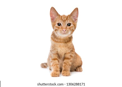 red striped kitten sitting in front of a white background looking at camera