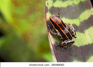 red striped poison arrow frog, Ranitomeya uakarii an beautiful small exotic amphibian from the Amazon jungle in Peru