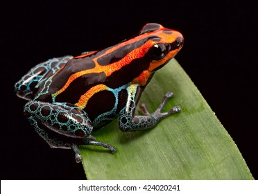 Red striped poison dart frog , ranitomeya amazonica. A poisonous small rainforest animal living in the Amazon rain forest in Peru.