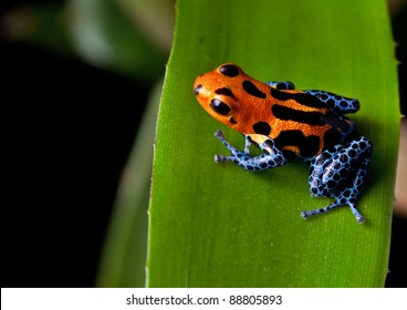 red striped poison dart frog blue legs of amazon rain forest in Peru, poisonous animal of tropical rainforest, pet in terrarium