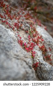 Red succulents on the rocks at Whisky Bay, Wilsons Promontory, Victoria, Australia