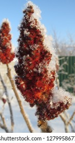 Red sumac tree inflorescences covered with snow close up