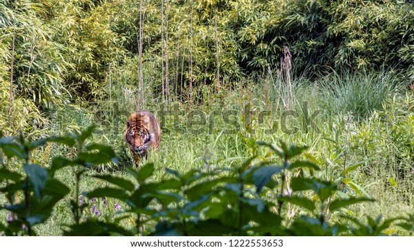 red-sumatran-tiger-panthera-tigris-600w-