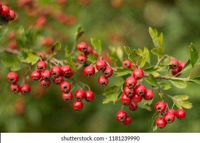 Red, summer berries blooming on a   green bush in forest