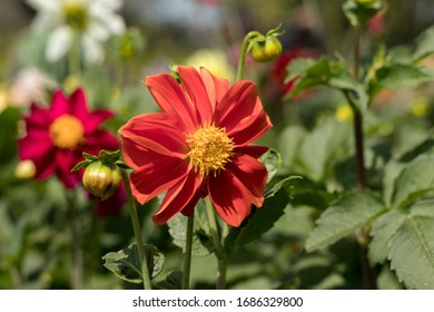 Red Sun Flower in Garden