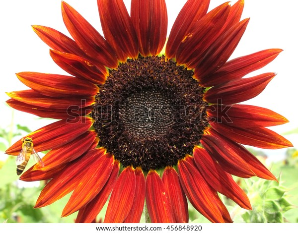 Red sunflower full bloom with bee at Loburi Thailand