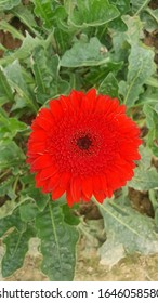 It was A Red Sunflower of My Own garden