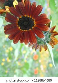 red sunflower prado red