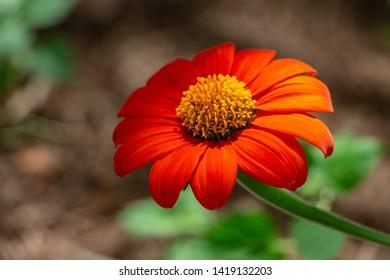 Red sunflower (Tithonia rotundifolia) - Davie, Florida, USA