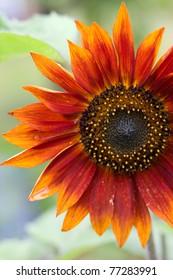 Red Sunflower,Helianthus annuus