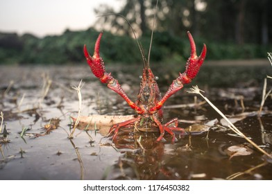 Red swamp crawfish near Guadiana riverside, Badajoz, Spain. Freshwater crayfish specie with menacing attitude