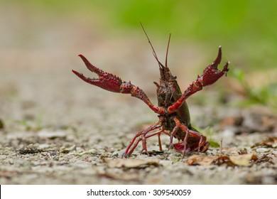 A Red swamp crawfish (Procambarus clarkii, red swamp crayfish, Louisiana crawfish, Louisiana crayfish, mudbug) on the ground