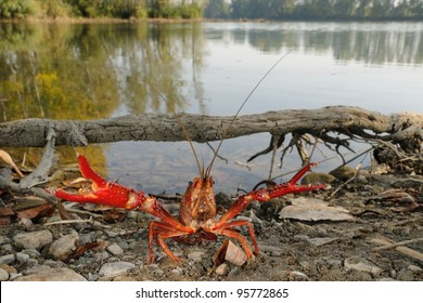 red swamp crawfish (Procambarus clarkii) in its allochthonous habitat. Defense posture
