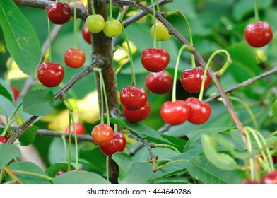 Red and sweet cherries growing on a branch