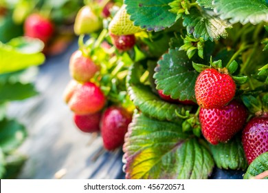 Red sweet strawberry fruit in the plantation. (closeup)