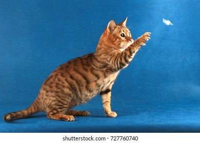 Red tabby cat catches a feather