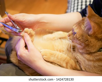 Red tabby cat cutting a nail