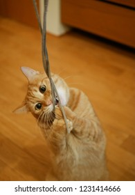 red tabby cat holds the string