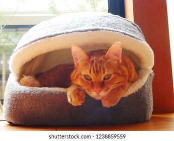 Red tabby cat in the cat house