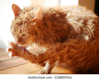 red tabby cat licking the body