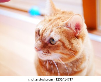 red tabby cat looks up