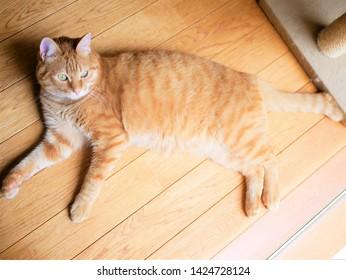 Red tabby cat lying on the floor