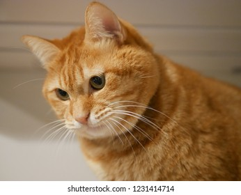 red tabby cat overlooks