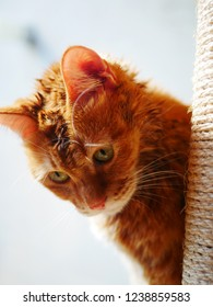 red tabby cat peeps