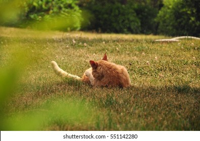 red tabby cat rest on the cropped lawn in garden