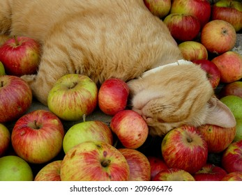 red tabby cat resting among fresh apples