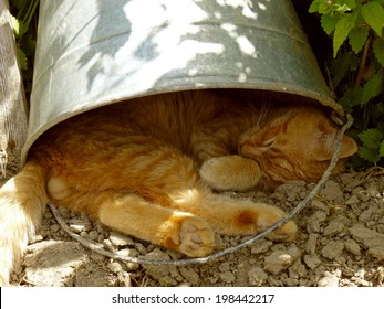 red tabby cat resting under the bucket in very hot summer day