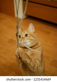 red tabby cat stares a string