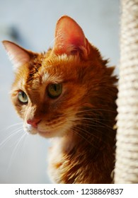 red tabby cat staring