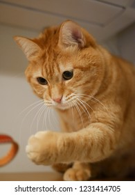 red tabby cat that show interest