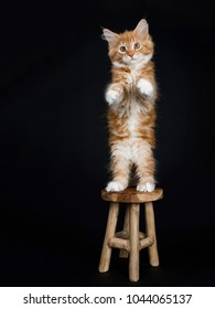 Red tabby with white Maine Coon cat / kitten standing on back paws on a wooden stool isolated on black background.