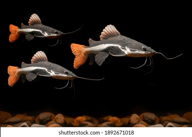 Red Tail Catfish swimming on rocks under water