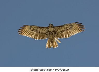 Red Tail Hawk cruising over Phoenix Mountain Preserve