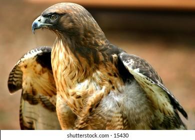 Red tail hawk-1