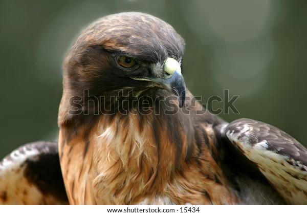 red tail hawk-2
