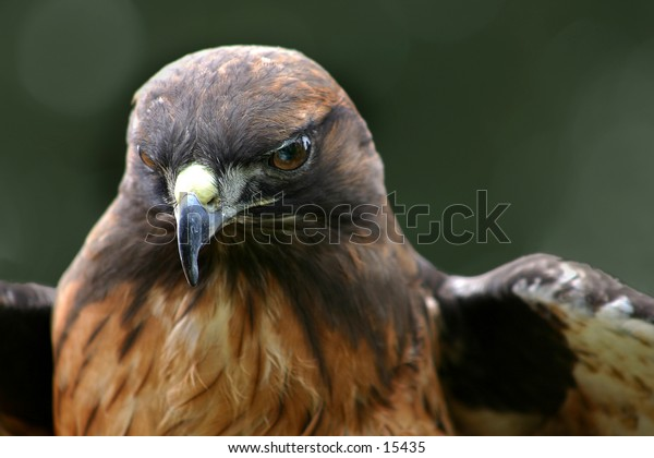 Red tail hawk-3