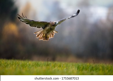red tailed eagle flying in the wild autumn forest