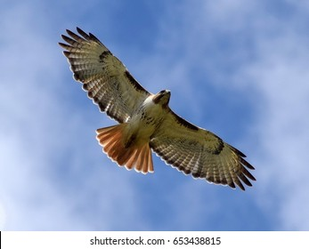 Red Tailed Hawk Images Stock Photos Vectors Shutterstock