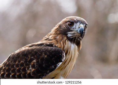 A Red Tailed Hawk (Buteo jamaicensis) alertly watches it's surroundings