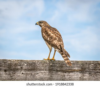 Red tailed hawk, (Buteo jamaicensis) is a bird of prey that breeds throughout most of North America, from the interior of Alaska and northern Canada to as far south as Panama and the West Indies.