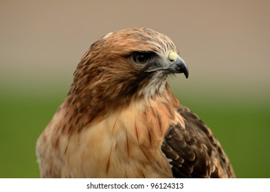Red Tailed Hawk Close Up 2